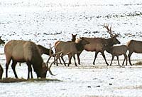 There are four elk feedgrounds within 15 miles of the Lodge